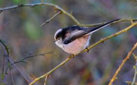 Long-tailed tit by Chris Connel